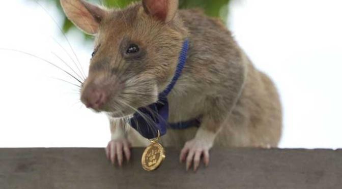 Condecoran a una rata por su trabajo detectando minas en Camboya